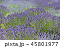 ラベンダー 植物 花の写真 45801977