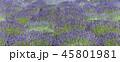 ラベンダー 植物 花の写真 45801981