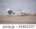 冬のカモメ 45802207