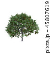 Tree isolated on white with clipping path. 45807619