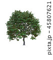 Tree isolated on white with clipping path. 45807621
