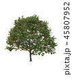 Tree isolated on white with clipping path. 45807952