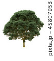 Tree isolated on white with clipping path. 45807953