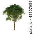 Tree isolated on white with clipping path. 45807954