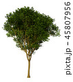 Tree isolated on white with clipping path. 45807956