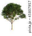 Tree isolated on white with clipping path. 45807957