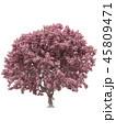 Pink sakura japanese tree, cherry blossom 45809471