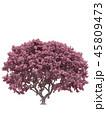 Pink sakura japanese tree, cherry blossom 45809473