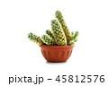 さぼてん サボテン 仙人掌の写真 45812576