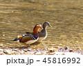 オシドリ 野鳥 水辺の写真 45816992