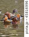 オシドリ 野鳥 水辺の写真 45816996