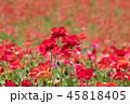 ポピー シャーレーポピー 花の写真 45818405