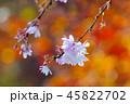 冬桜 桜 花の写真 45822702