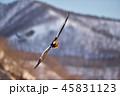 知床の山を背景に飛ぶオオワシ(北海道・羅臼) 45831123