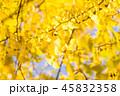銀杏 秋 葉の写真 45832358