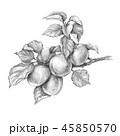 ベクトル アプリコット アンズのイラスト 45850570