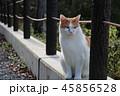 ふくよかな猫 45856528