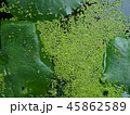 Green plants and small algae 45862589
