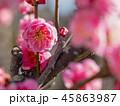 梅 花 紅梅の写真 45863987