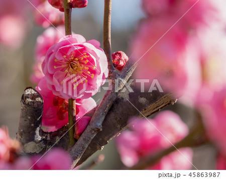 ピンクの梅 45863987