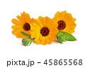 マリーゴールド キンセンカ 金盞花の写真 45865568