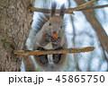 クルミを食べるエゾリス 45865750