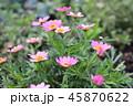 ピンクの花 45870622