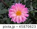 ピンクの花 45870623