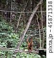 野生の子供オランウータン 45871338