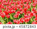 チューリップ畑 チューリップ 花の写真 45872843