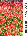 チューリップ畑 チューリップ 花の写真 45872849