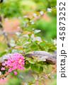 サルスベリ 花 ピンクの写真 45873252