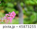 サルスベリ 花 ピンクの写真 45873255