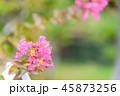 サルスベリ 花 ピンクの写真 45873256