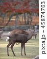 奈良公園 動物 鹿の写真 45874763