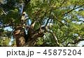 クスノキ 45875204