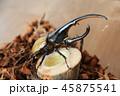 ヘラクレスオオカブト カブトムシ 昆虫の写真 45875541