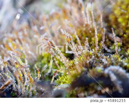 霜が付いた草 植物 寒い 冬の朝 45891255