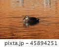 池 鴨 水鳥の写真 45894251