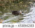 鴨 池 鳥の写真 45894283