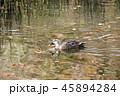 鴨 池 鳥の写真 45894284