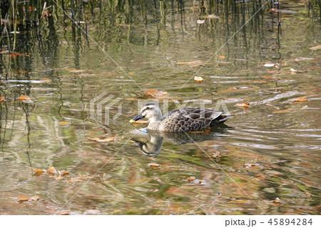 紅葉の池で泳ぐ鴨 45894284
