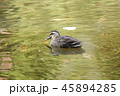 鴨 池 鳥の写真 45894285
