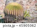 サボテン さぼてん 仙人掌の写真 45905062