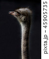 ダチョウ 顔 鳥の写真 45905735
