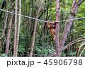 野生の子供オランウータン 45906798