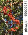 ピラカンサ 赤い実 実の写真 45909984