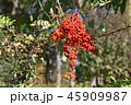 ピラカンサ 赤い実 実の写真 45909987