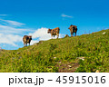 Cows grazing on the hill 45915016