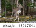 エゾシカ 45917641
